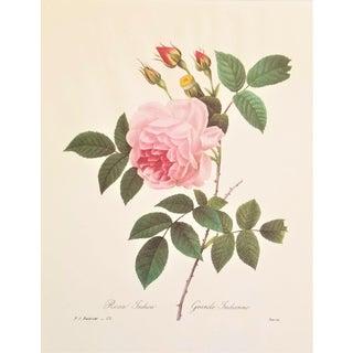 Pierre-Joseph Redouté Reproduction Pink Rose Botanical Print For Sale