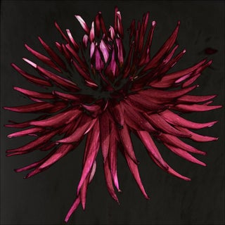Carsten Witte - Star Dahlia - Edition 2/5, Signed, 2013 For Sale
