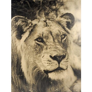 Lion Poster For Sale