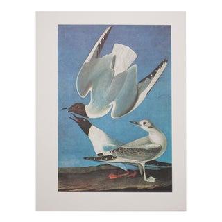 Lithograph of Bonaparte's Gull by Audubon, 1966