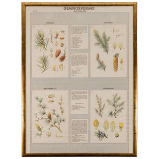 Early 20th Century Italian Botanical Print For Sale