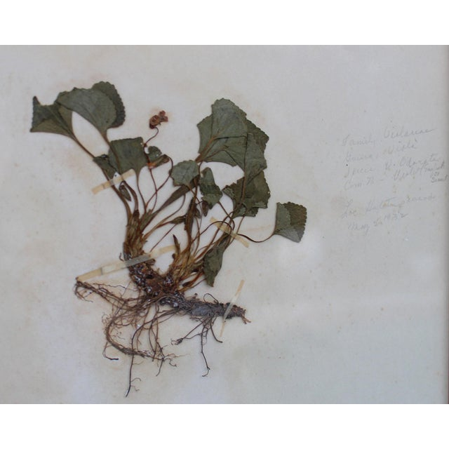 Contemporary Framed Herbarium Plant Specimens From 1932 - Set of 20 For Sale - Image 3 of 8
