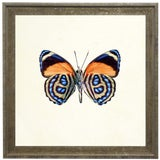 Image of Bright Orange Butterfly With Blue Spots in Distressed Cream & Gold Moulding - 15ʺ × 15ʺ For Sale