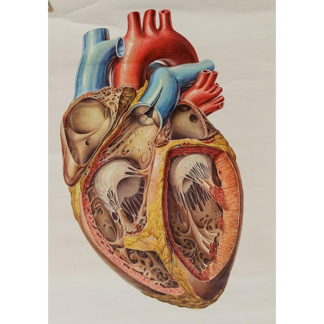 This set of two wall charts depicts the circulatory and respiratory systems. PLEASE PROVIDE PROPER DEPTH MEASUREMENT