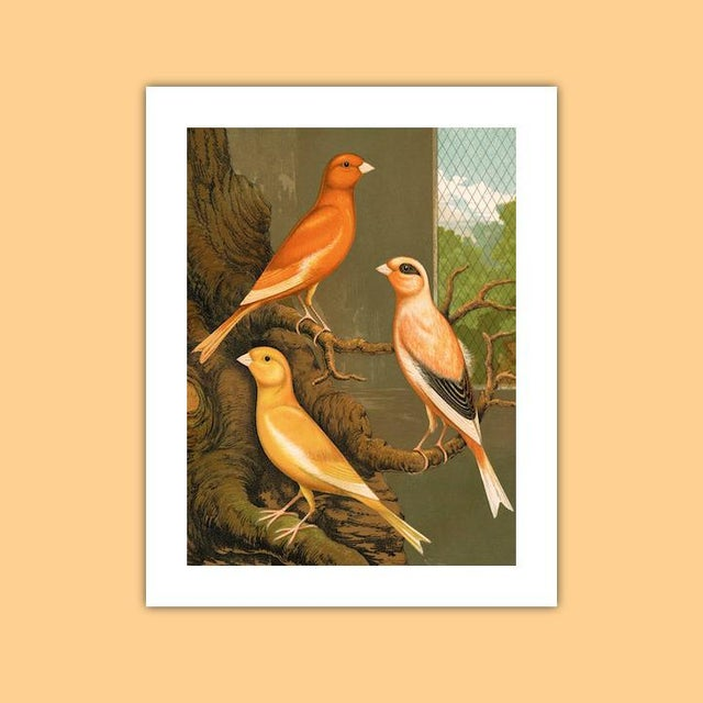 Antique '3 Orange Canaries' Archival Print For Sale - Image 4 of 4