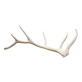 6 Point Elk Antler