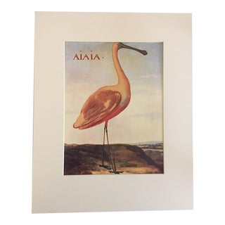 "Albert Eckhout's Roseate Spoonbill - 1970s Print of 1644 Painting From ""Birds of Brazil"""