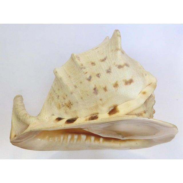 Natural King Helmet Conch Shell Specimen - Image 2 of 8