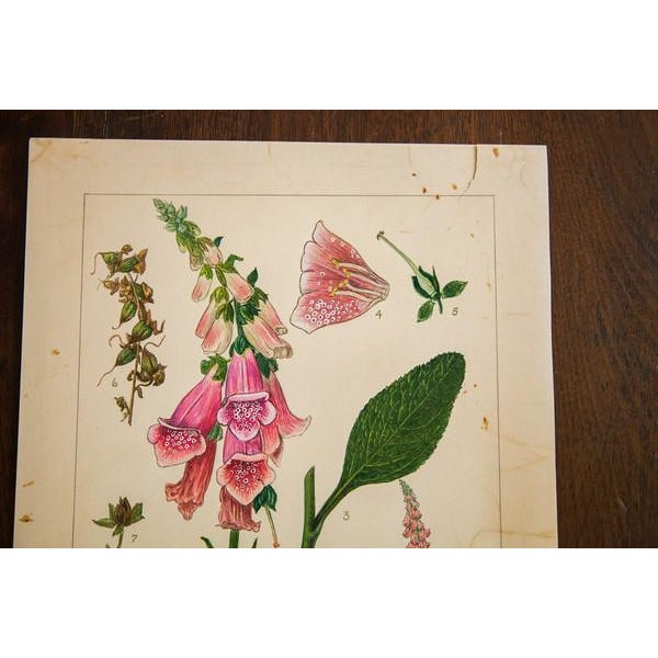 Original watercolor vintage late 1930's to early 1940's illustrating Foxglove (Digitalis Purpurea). This is part of an...