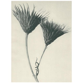 1928 Contemporary Original Photogravure by Karl Blossfeldt - N102 For Sale
