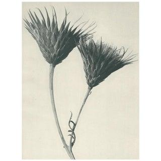 1928 Original Contemporary Photogravure by Karl Blossfeldt - N102 For Sale
