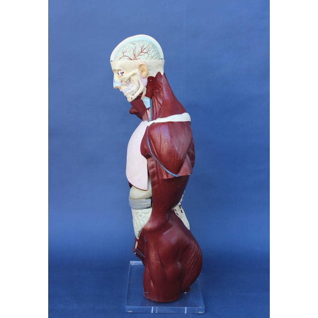 White Mid-Century Anatomical Model For Sale - Image 8 of 10