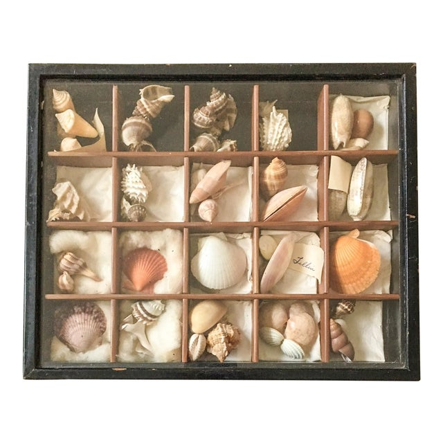 Antique Seashell Collection Shadowbox - Image 1 of 8