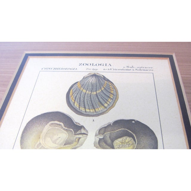 Pair of Vintage Latin Conch Shell Botanicals - Image 3 of 9