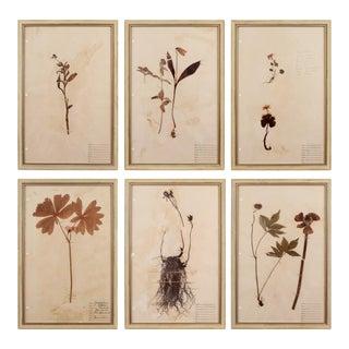 Framed Herbarium Plant Specimens From 1932 - Set of 6 For Sale