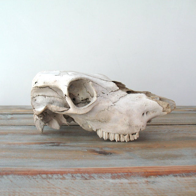 Vintage Cow Skull - Image 4 of 7