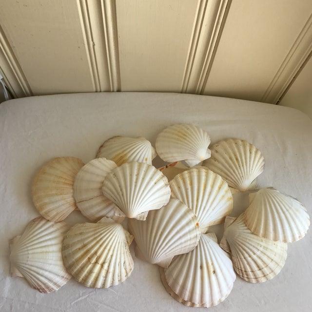 Natural Sea Shells - Set of 15 - Image 5 of 11