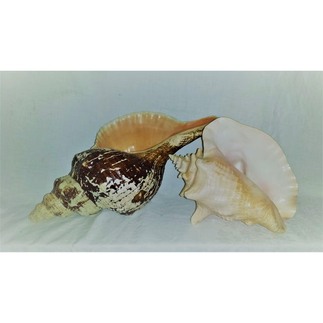 "Two natural conch shells with pink accent. Natural wear. Theses are huge with the largest one measuring over 14"" long."