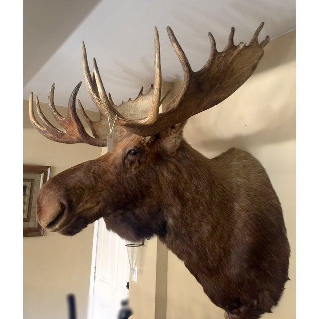 Alaskan Moose Taxidermy Shoulder Mount - Image 4 of 5