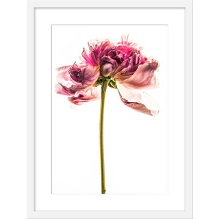 "Medium ""Peony in Bloom Ii"" Print by David Knight, 19"" X 25"" For Sale"