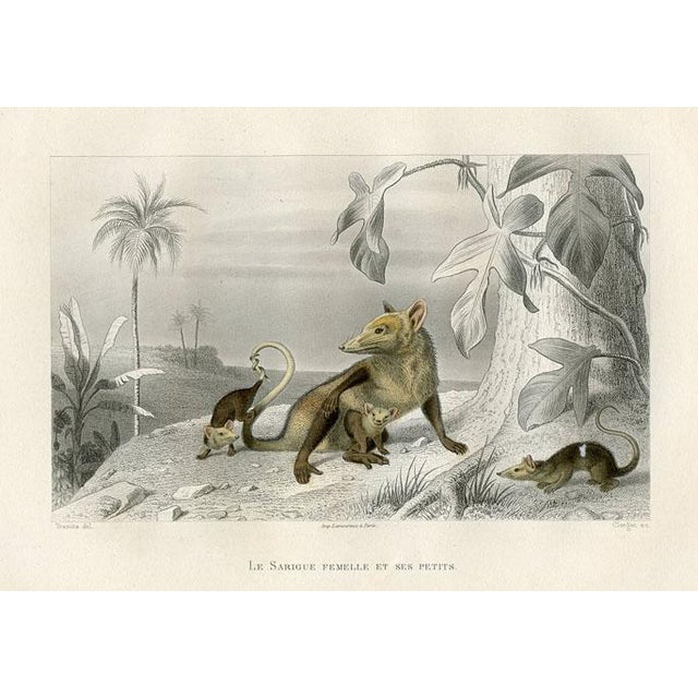 Illustration Possum and Her Young, 1880 Engraving For Sale - Image 3 of 3
