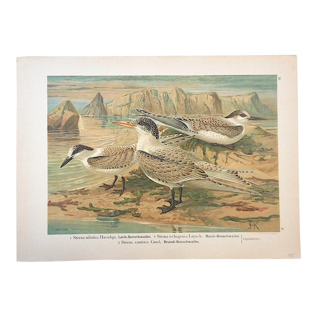 Antique Bird Lithograph, Water & Shore Birds For Sale