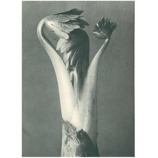 1928 Original Karl Blossfeldt Photogravure N96 of Monk's Hood For Sale