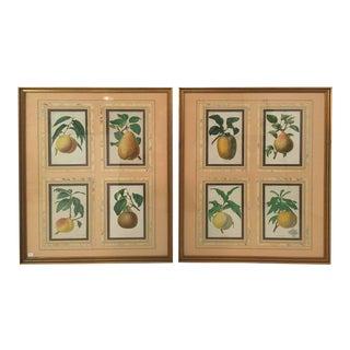 19th Century Botanical Fruit Prints - A Pair