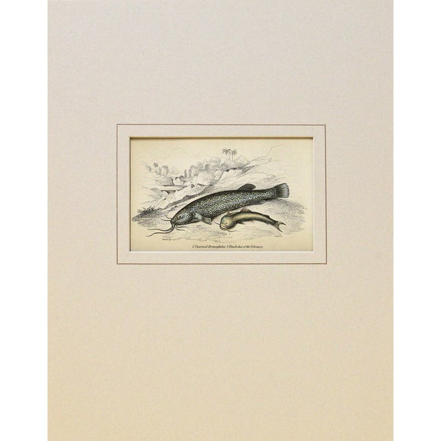 Antique 1843 Naturalist Catfish Engraving For Sale