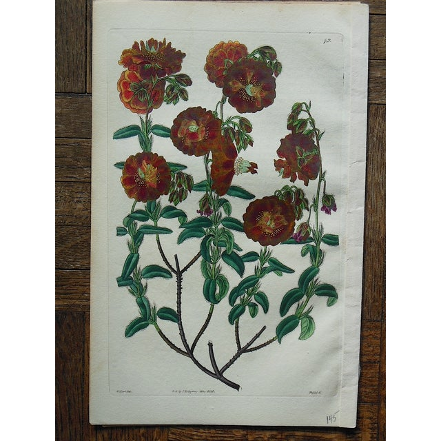 Antique Botanical Engravings- A Pair - Image 5 of 5