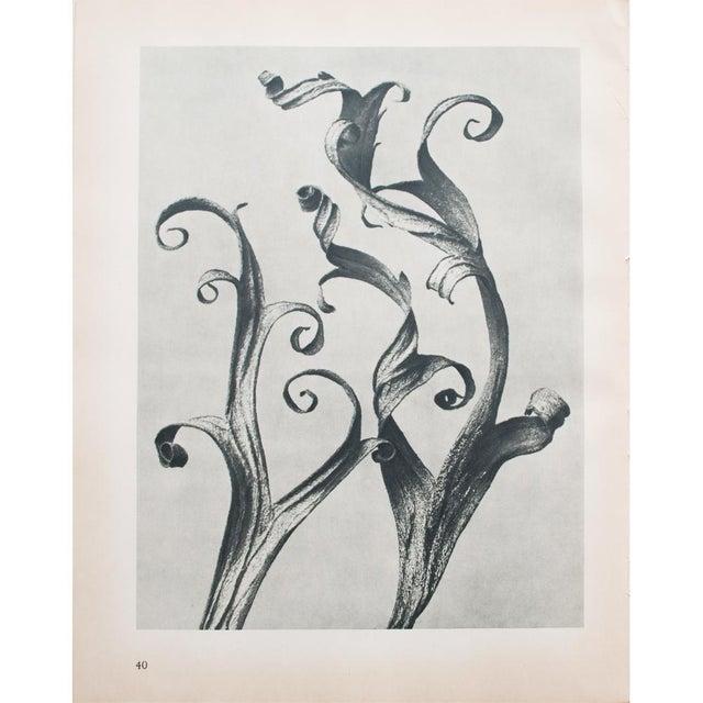 1935 Blossfeldt Photogravure N39-40 - Image 5 of 11