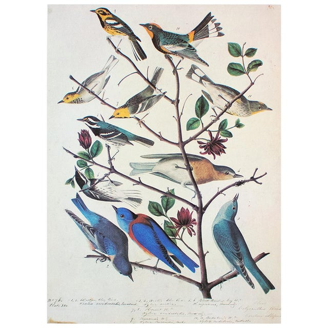 American Bluebirds and Townsend's Warbler by Audubon, Vintage Cottage Print For Sale In Dallas - Image 6 of 8