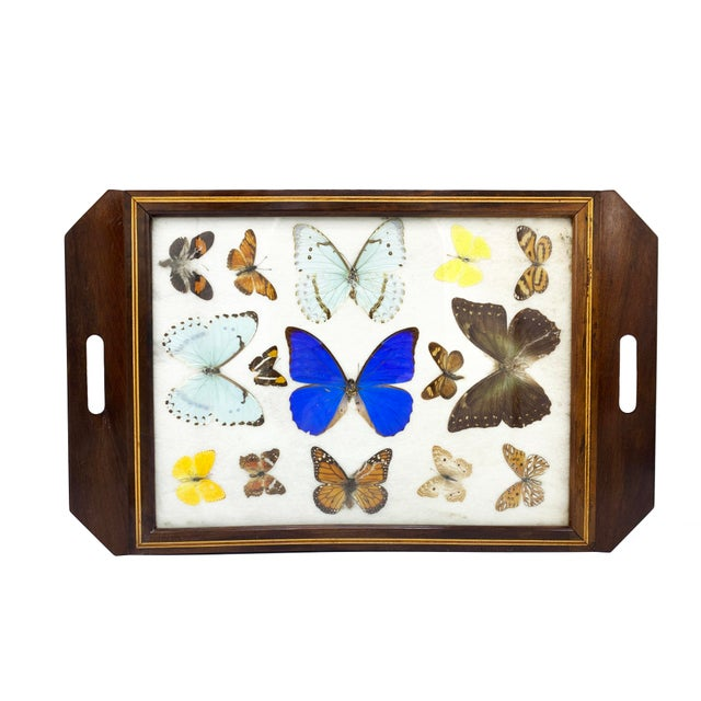 Vintage mid century mahogany wood tray with inlaid boarder and various tropical species of butterflies under the glass...