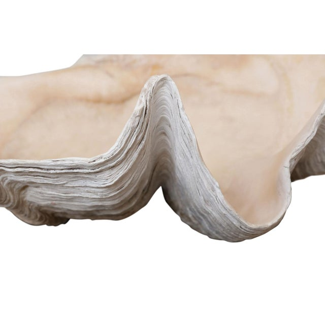Large clam shell from the South Pacific Ocean.