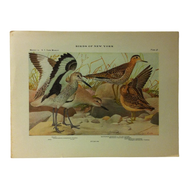 """1925 """"Willet - Bartramian Sandpiper"""" the State Museum Birds of New York Print For Sale"""