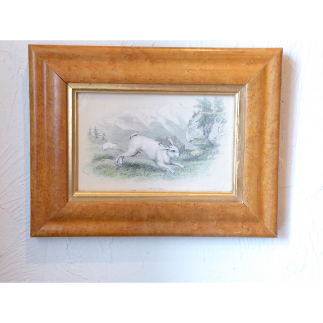 19th Century Watercolored Engraving of White Hare For Sale - Image 4 of 4