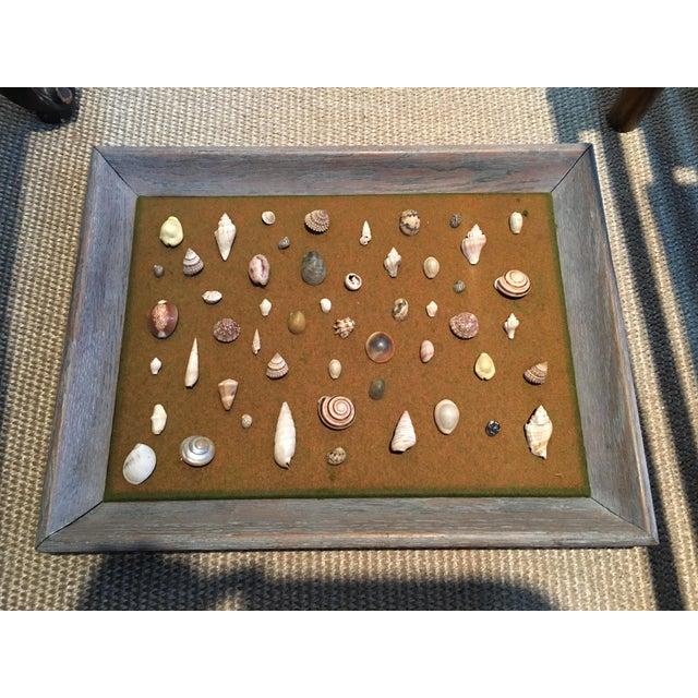 Shell Specimen Framed Display For Sale - Image 4 of 4