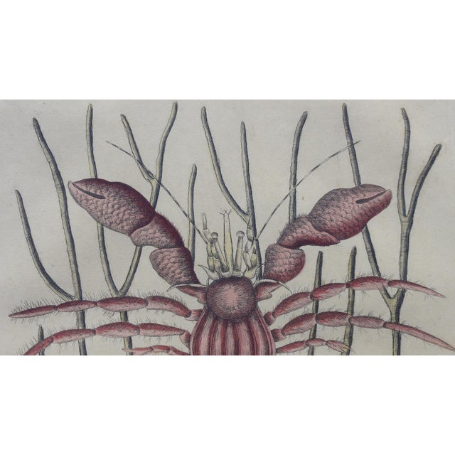 The Sea Hermit Crab by Catesby, 1815 For Sale - Image 6 of 6