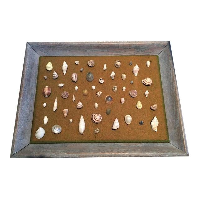 Shell Specimen Framed Display For Sale