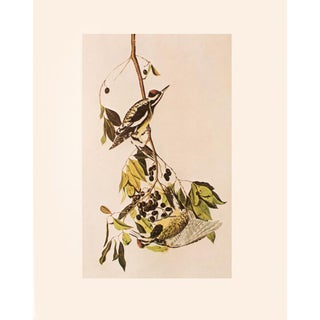 1966 Yellow-Bellied Sapsucker by John James Audubon Vintage Cottage Print For Sale