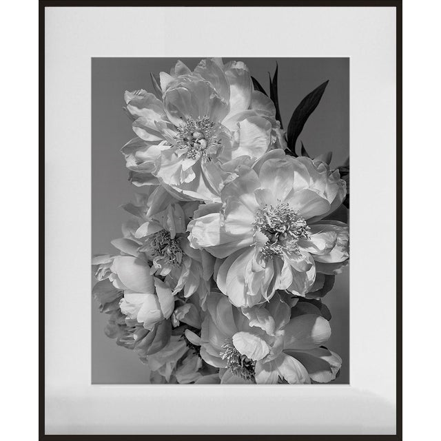 """""""Coral Charm Peony III"""", Contemporary, Framed, Photograph by Jean Karotkin For Sale"""