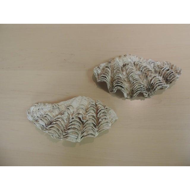 Vintage Half Clam Sea Shells - a Pair - Image 2 of 5
