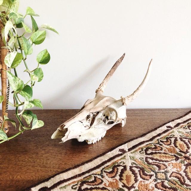 Vintage sun-bleached small Texan deer skull and antlers.