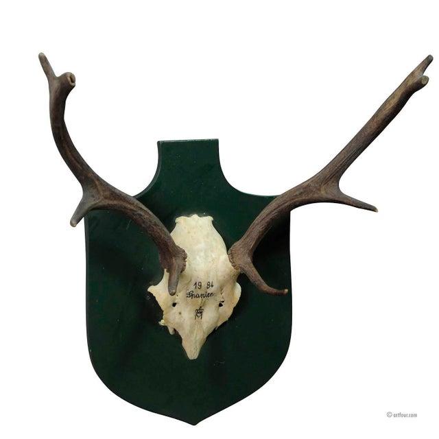 Vintage Fallow Deer Trophy Spain 1984 For Sale - Image 4 of 4