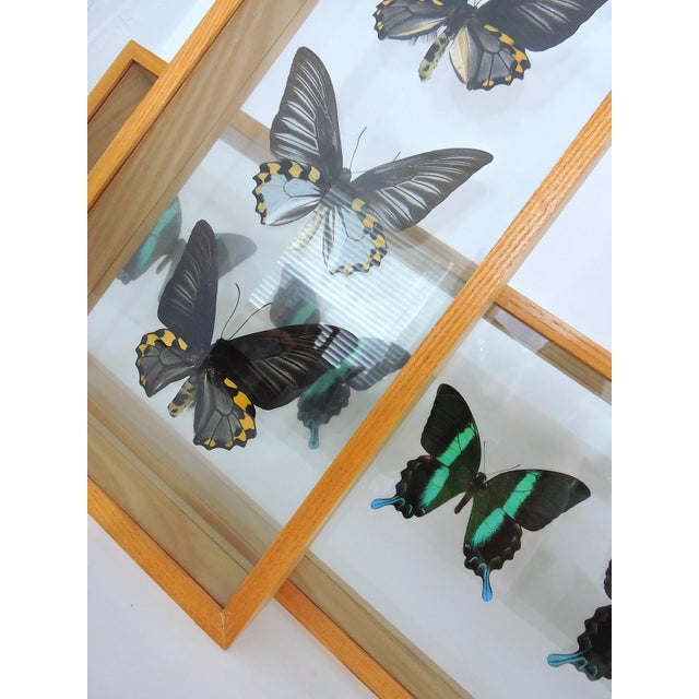 Blue Morpho's & Ulysses Box Framed Butterflies Wall Panel Hangings - Set of 3 For Sale - Image 10 of 13