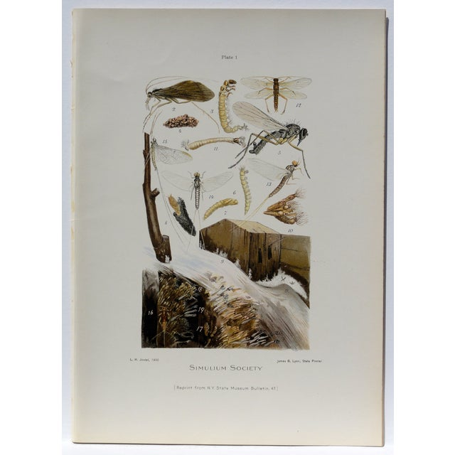 An original chromolithograph of a simulium society showing simulium flies in the various stages of their life cycle. Image...
