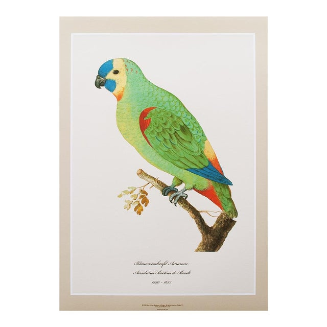 1590s Large Print of Blue-Fronted Amazon by Anselmus De Boodt For Sale
