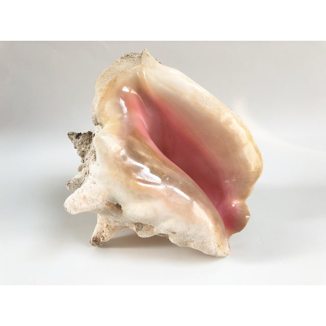 Natural Weathered Large Conch Shell For Sale In Boston - Image 6 of 9