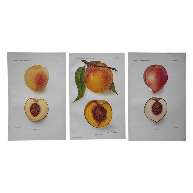 1900's Antique Peach Lithographs - Set of 3 - Image 1 of 3