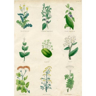 1840s English Herbal Engraving, Including Nightshade For Sale